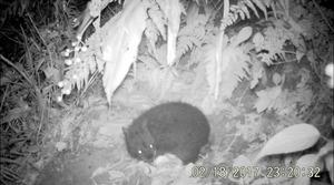 アマミノクロウサギ、猫が襲う 鹿児島大が初めて撮影
