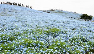 青色の絨毯、ネモフィラが見ごろ 茨城・ひたち海浜公園
