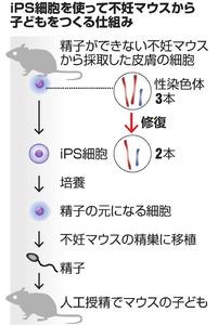 精子できないマウスから子 京大など、iPS技術使う