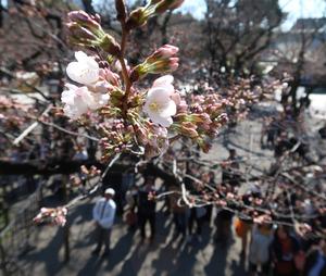 東京で桜が開花 平年より9日早く 気象庁発表