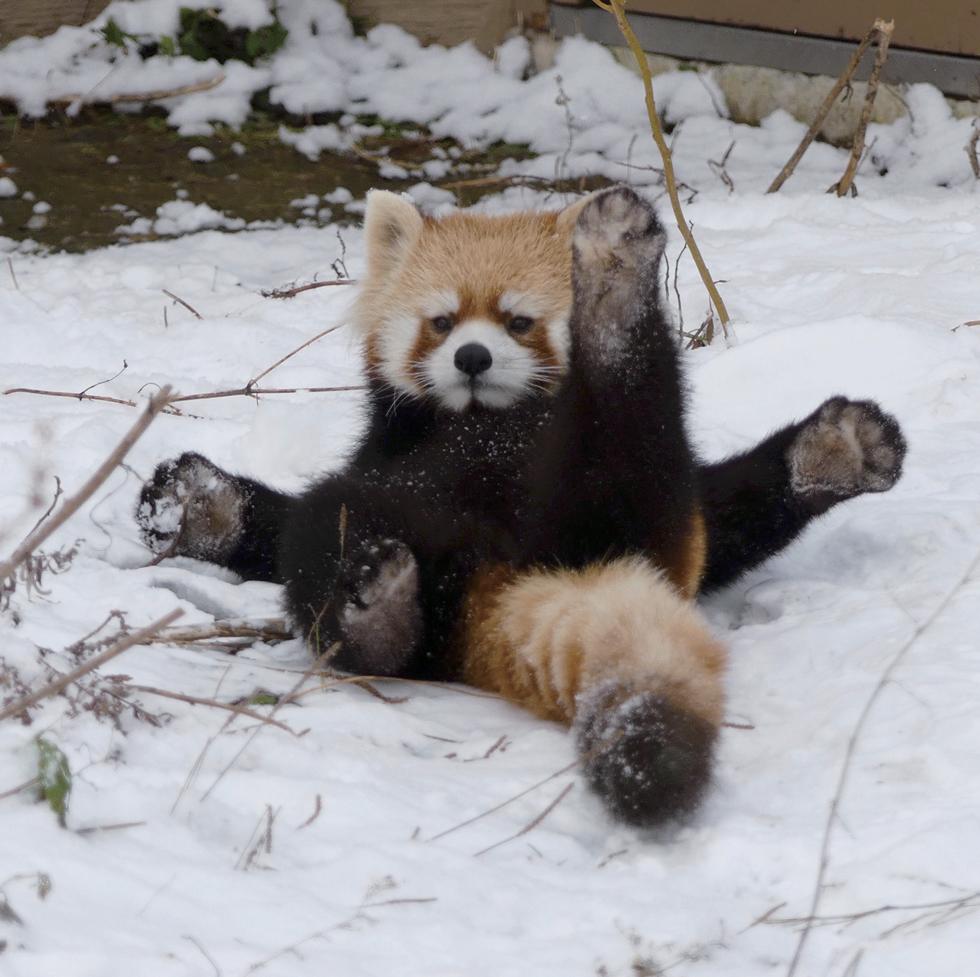 レッサーパンダの画像 p1_21
