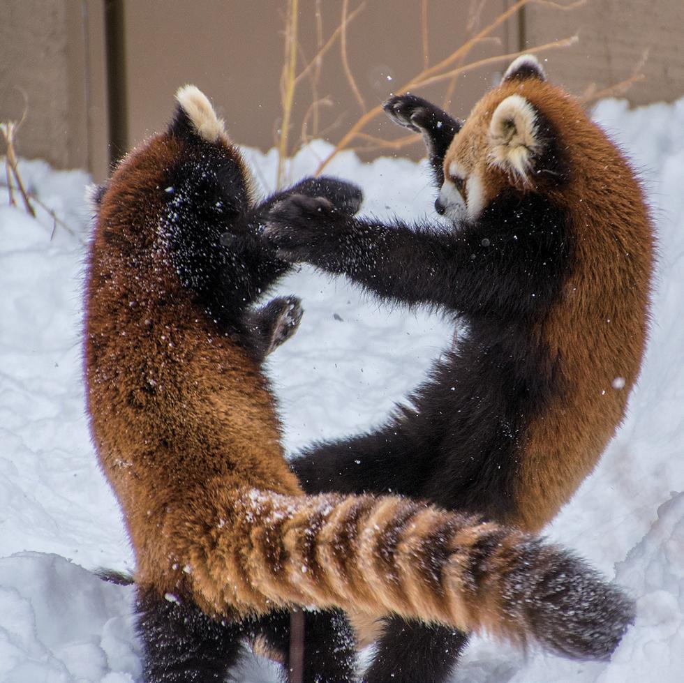 レッサーパンダの画像 p1_32