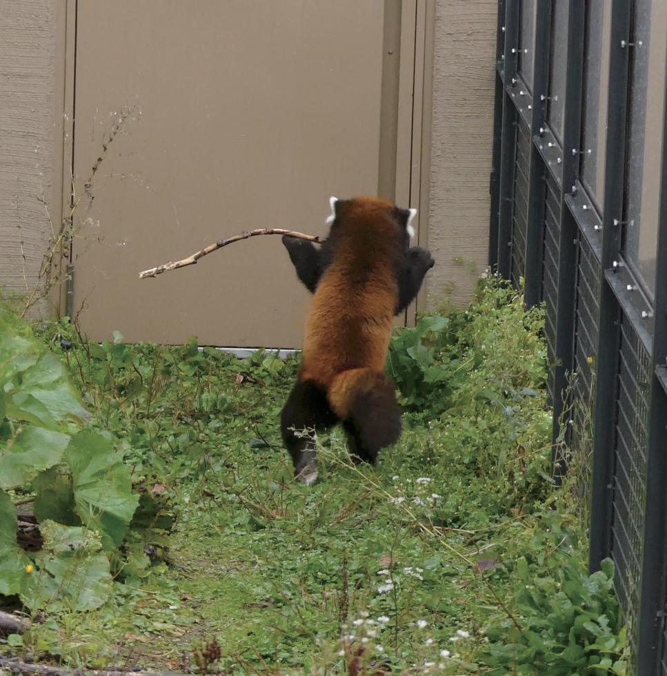 レッサーパンダの画像 p1_14