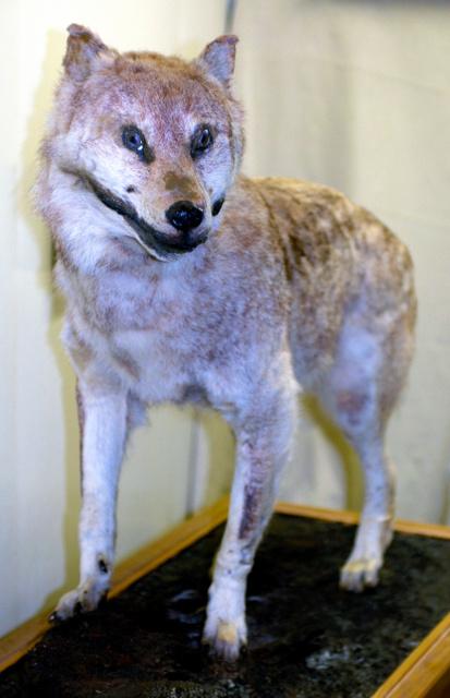 ニホンオオカミの画像 p1_36