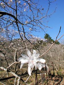 写真・図版 愛知県田原市と豊橋市で春本番を告げる花が見頃を迎えている。…[続きを読... シデコ