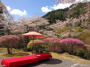 桜とツツジが同時に咲く、春の白龍園=2013年4月、京都市左京区鞍馬二ノ瀬町、青野提供