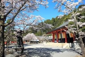 雲珠桜など、様々な種類の桜が咲き乱れる鞍馬寺=2012年、京都市左京区、鞍馬寺提供