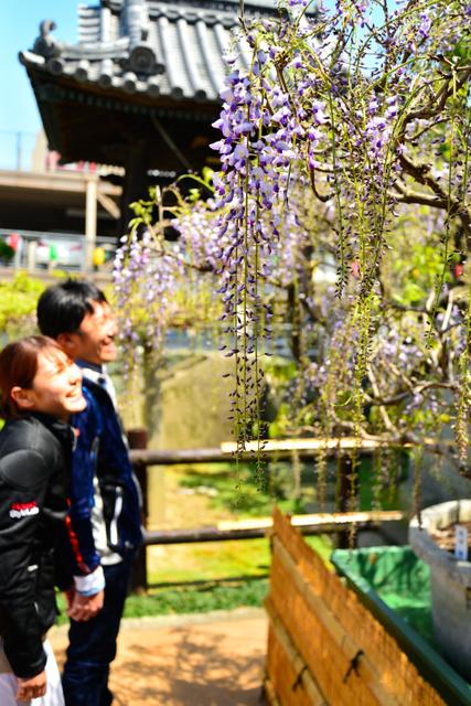 咲き始めたフジの花=石井町石井の地福寺