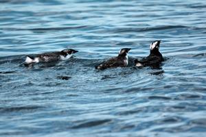カンムリウミスズメのヒナ2羽(右)と親鳥=上関町沖、武石全慈さん撮影