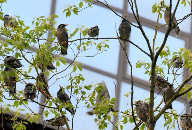 大きな木を好むムクドリ