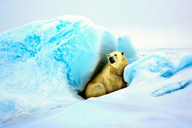 氷の間に隠れて様子をうかがうホッキョクグマ=2008年5月19日、カナダ北部のウスアクジュ沖