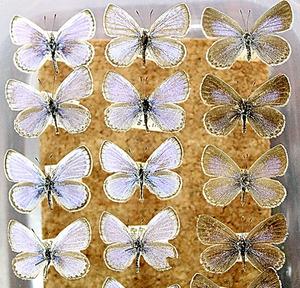 ヤマトシジミの標本