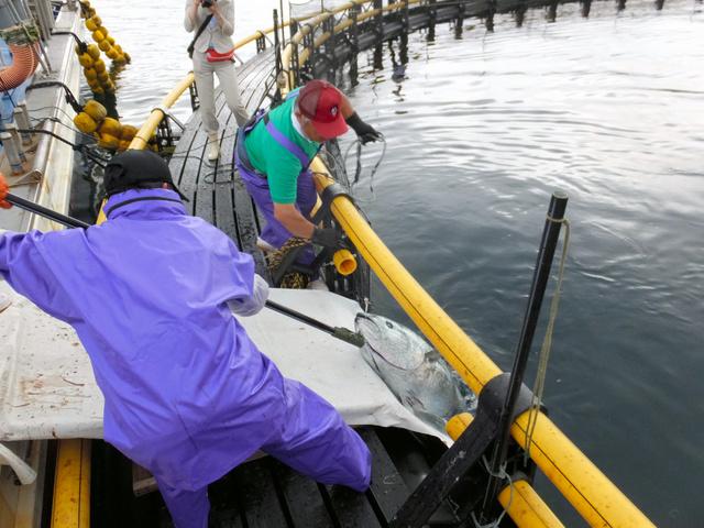 海上いけすでは、和歌山などから移した稚魚から成魚に育てた「近大マグロ」が釣り上げられていた=長崎県五島市