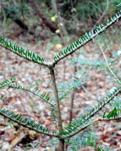 変化が現れたモミの木。まっすぐ上に伸びるはずの幹がない=放射線医学総合研究所提供