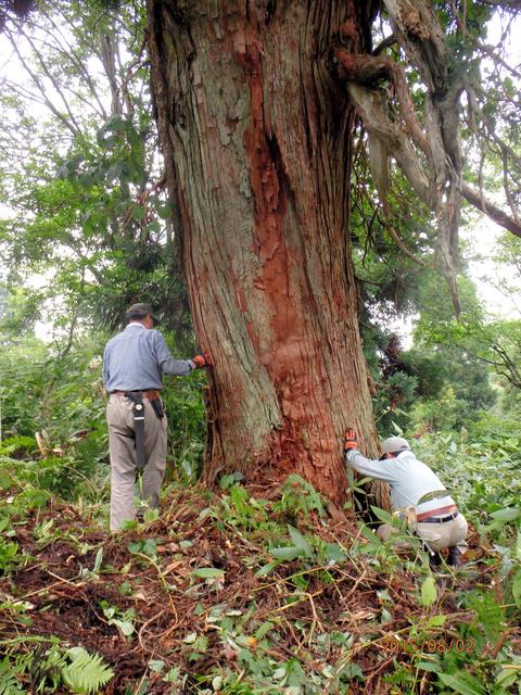 樹齢数百年とみられる幹回り約6メートルのスギの巨木=美郷町六郷東根、金沢諏訪堂の会提供