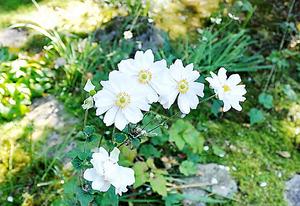 寂庵の庭に咲くシュウメイギク