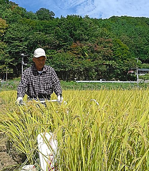 試験田の稲を刈る菅野宗夫さん