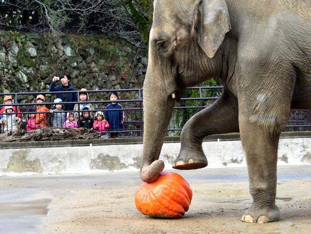 カボチャをプレゼントされ、早速、食べようとするゾウの姫子=姫路市立動物園