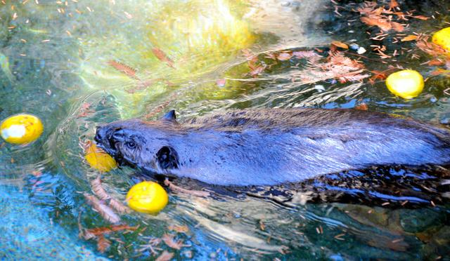 ユズが浮かぶプールを気持ちよさそうに泳ぐアメリカビーバー=県立のいち動物公園