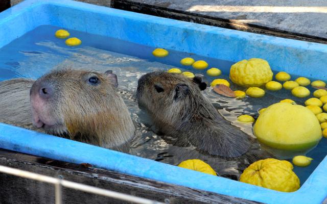 うっとりとした表情でゆず湯につかる2頭のカピバラ=狭山市・智光山公園こども動物園