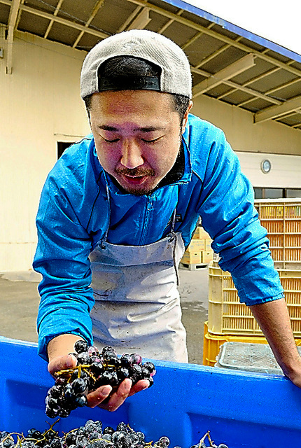 Akihiro Kumagai checks wine grapes ahead of the fermentation process at his vineyard in Rikuzentakata, Iwate Prefecture. (Satsuki Fujita)◇ワインに仕込む前のブドウを手にする熊谷さん=岩手県陸前高田市