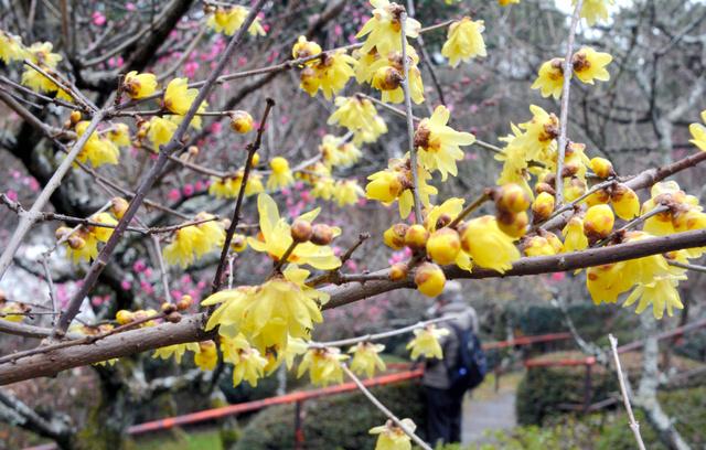 見頃を迎えたロウバイの花=大津市石山寺1丁目の石山寺