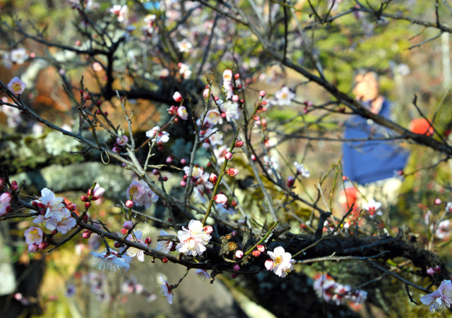 ほぼ満開に咲いた梅=甲府市酒折3丁目の不老園