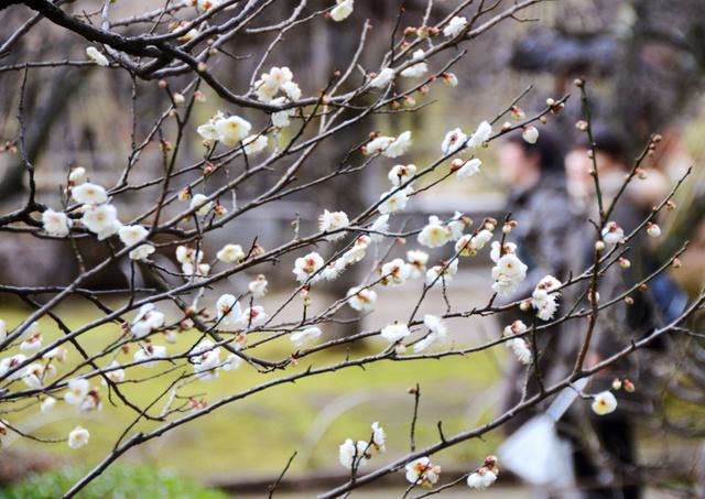 見頃を迎えている冬至梅=金沢市の兼六園
