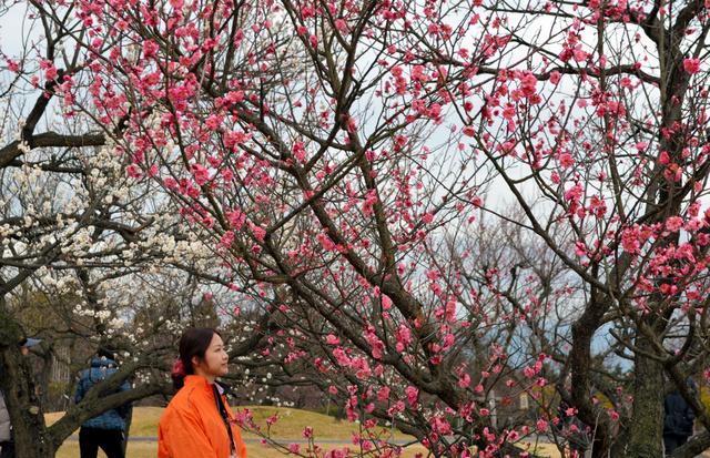 見ごろになった早咲きの梅の花=小田原市の小田原フラワーガーデン