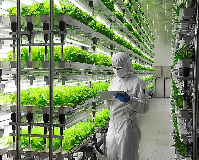 半導体のクリーンルームを利用し、レタスやホウレンソウを育てている富士通グループの植物工場=福島県会津若松市