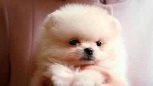 ソフトバンクのCMに出てくる子犬の「ギガ」