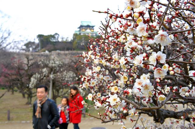 大阪城公園では、早くも見頃を迎えた梅の花も=9日午前10時26分、大阪市中央区、筋野健太撮影