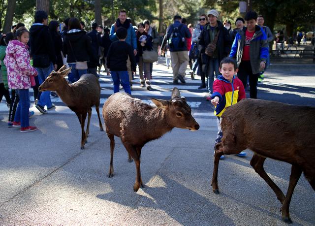大勢の観光客のなかを平然と歩く鹿。少年が鹿せんべいを口元に差し出した=奈良市