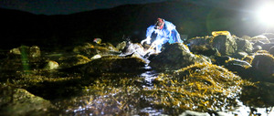 干潮になった午前1時すぎ、波打ち際に現れたひじきを刈る竹林民子さんら=山口県上関町の祝島、金子淳撮影
