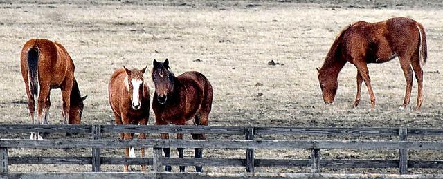 冬の牧場で草をはむサラブレッド=1月、北海道日高町