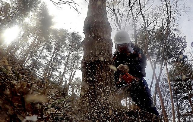 次々とチェーンソーで木を伐採していく作業員。切った木は、汚染された樹皮をはいで使える建材や紙の原料として出荷されるが、取引価格は原木より低い。森林の空間線量は毎時0・5マイクロシーベルトほどだという=2月22日午前、福島県田村市都路地区、福留庸友撮影