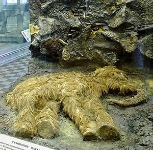 サンクトペテルブルクの動物学博物館にあるマンモスの赤ちゃん発見現場の再現模型。1977年に見つかった