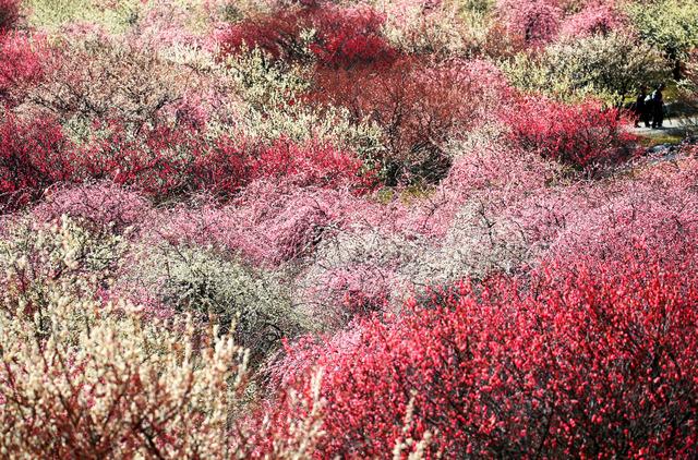 白から赤まで、花の色の階調が楽しめる梅林公園=2日、三重県いなべ市、細川卓撮影