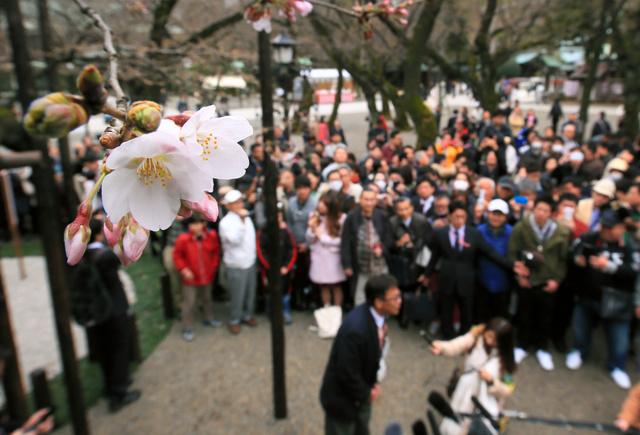 大勢の人たちが見つめる中、東京のサクラの標準木が開花したことを宣言する気象庁の職員(中央下)=21日午前11時、東京都千代田区の靖国神社、西畑志朗撮影