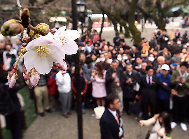 多くの人が見守る中、東京のソメイヨシノの標本木が開花したことを発表する気象庁の職員(中央下)=21日午前、東京都千代田区の靖国神社、西畑志朗撮影
