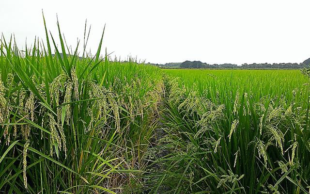 稲穂の大きな「しきゆたか」(左)と、一般的な品種を植えた水田=栃木県内、豊田通商提供