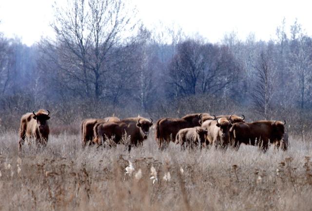「ポレーシェ国立放射線生態学保護区」で群れをなすヨーロッパバイソン=29日、ベラルーシ・ゴメリ州、杉本康弘撮影