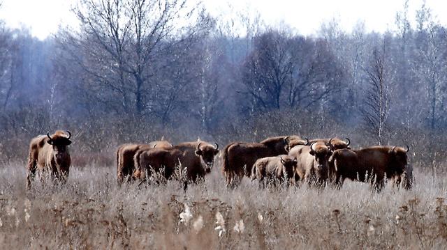 保護区で群れをなすヨーロッパバイソン=29日、ベラルーシ・ゴメリ州、杉本康弘撮影