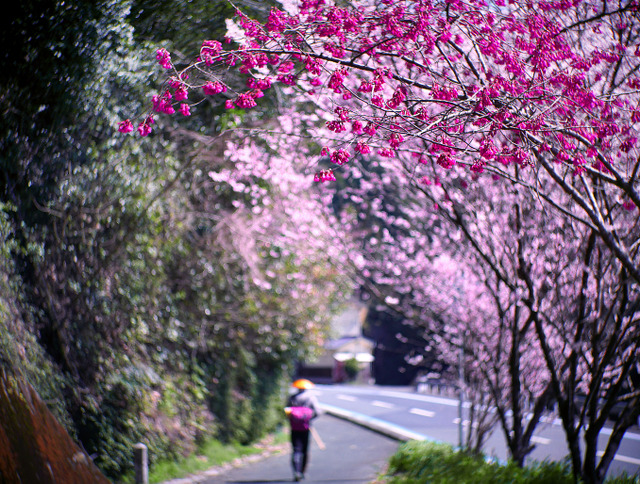 国道沿いを彩る春の兆しに、何人ものお遍路さんが歩を緩めていた=愛媛県内子町