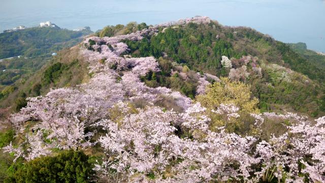 小型無人飛行機が空撮した積善山の桜=6日、上島町岩城(愛媛朝日テレビ提供 高橋正徳さん撮影)