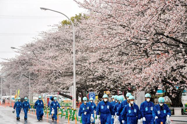 4月7日、福島第一原発構内で見ごろを迎えたソメイヨシノ=福島県大熊町、福留庸友撮影