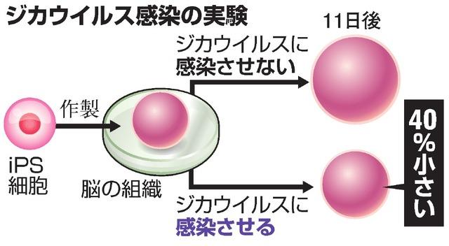 ジカウイルス感染の実験