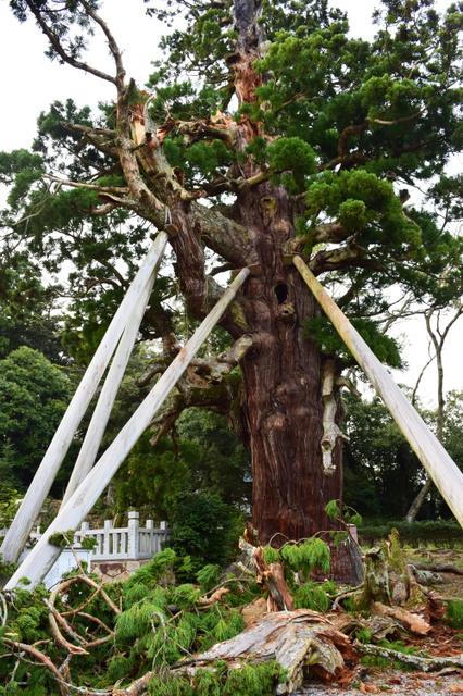 枝が折れているのが見つかった八百杉=隠岐の島町下西、伊藤周撮影