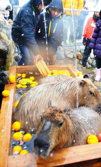 冬至にゆず湯につかるカピバラ=2013年12月、那須どうぶつ王国