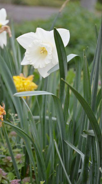 取材に向かう途中、道路脇にスイセンが咲いていました。春を感じます。